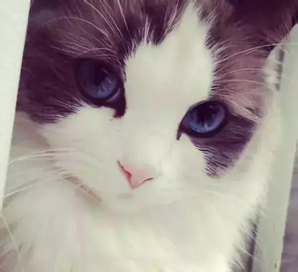 颜值巅峰布偶猫了解一下