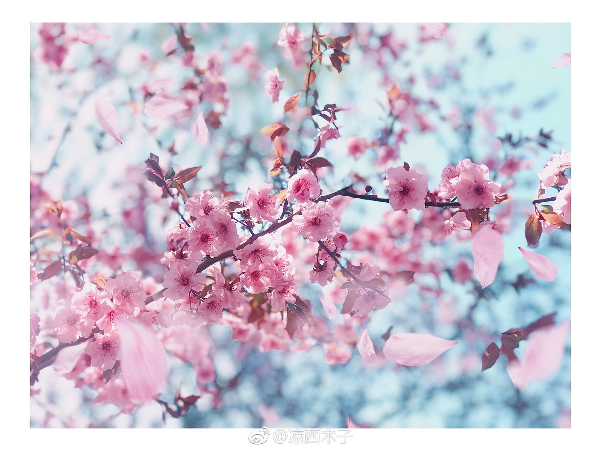 樱花花瓣飘落的速度秒速是五厘米