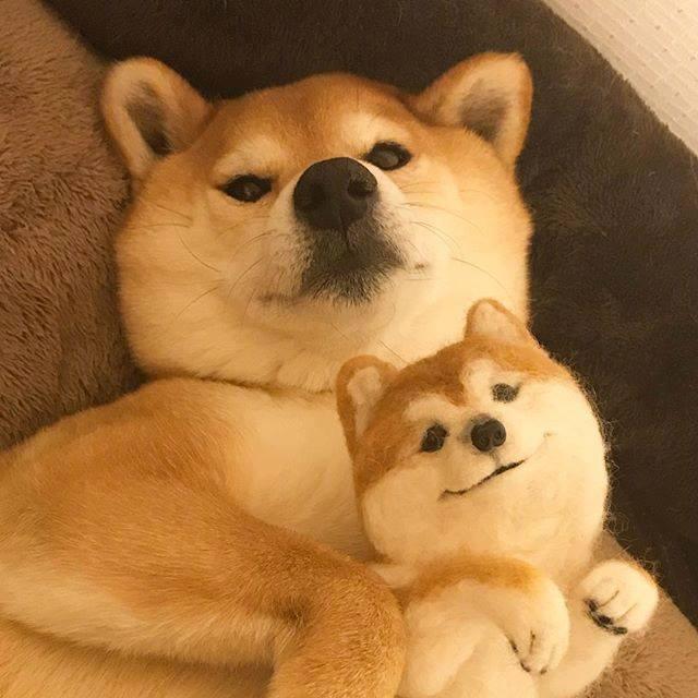 ins网红柴犬マロたん,可爱哭!cr.instagram-minapple