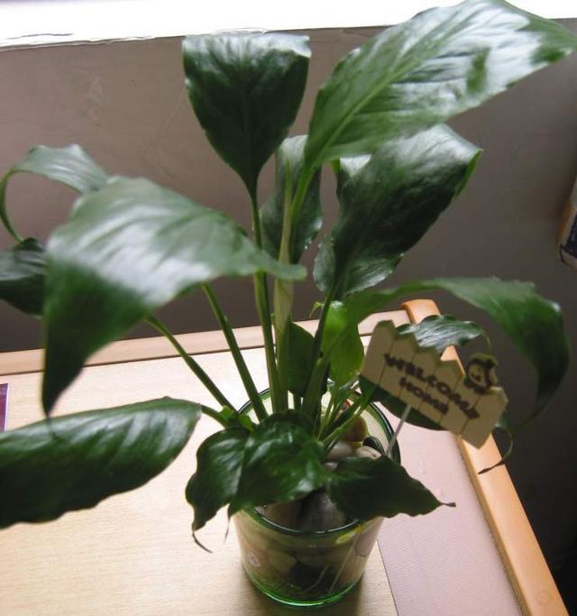 下面7种植物家里要养几盆,能净化空气,更是蚊虫的克星