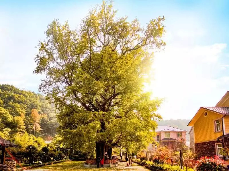 """自驾1h去杭州郊外的""""银杏之乡""""赏秋,遇见不输西湖的诗意山水"""