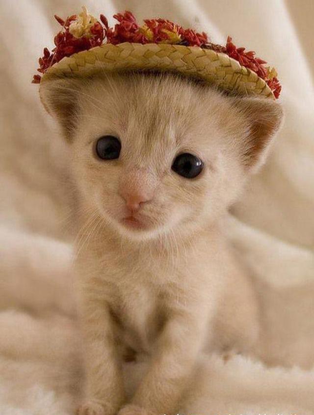12张萌猫可爱搞笑图:当猫咪戴上帽子 狮子都忍不住来凑热闹
