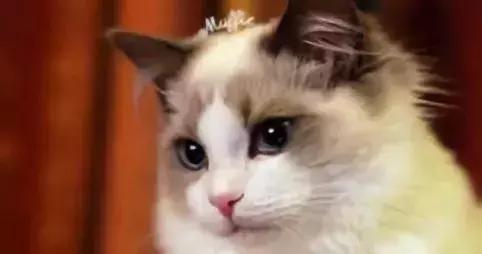 传统布偶猫