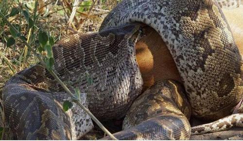 地球上5大最凶猛最残暴的远古巨蛇,沃那比蛇当之无愧第一