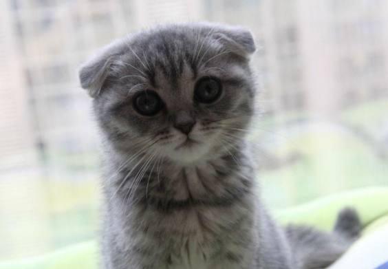 出差前将折耳猫交给老妈养,8个月回来后画风突变:它经历了什么