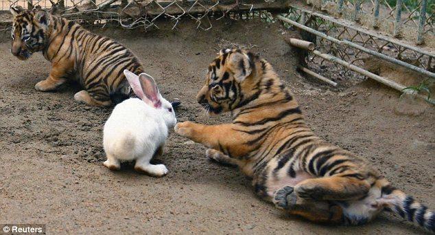 在一旁知道的老虎妈妈当然杀青抓兔子,只观战平时一直关在动物园超凡蜘蛛侠2可惜图片