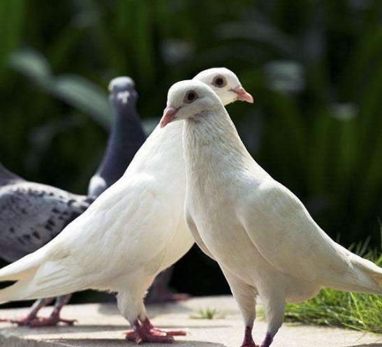 苍蝇鸽鸟类鸟动物547_497为什鸽子里城市少图片