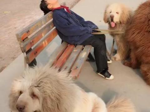 藏獒吃主人_小主人在外累的睡着了, 三只藏獒立马围起来守护, 小保镖真懂事!