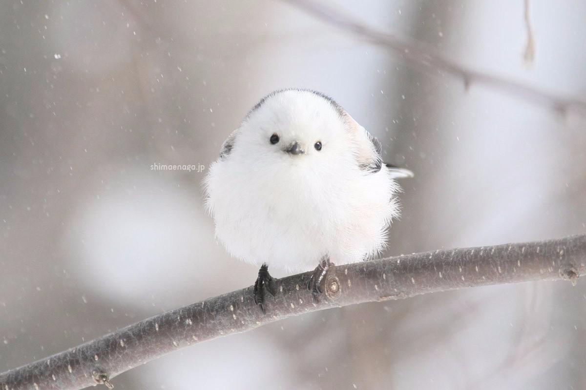日推排行榜题为:雪麦麸小可爱的团子是银喉长尾山雀成本v麦麸黑水虻名字图片