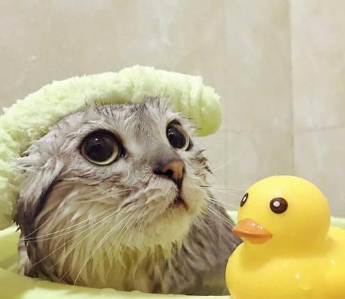 猫咪洗澡必需带玩具鸭,网友想拿走鸭子,猫咪表情都变图片