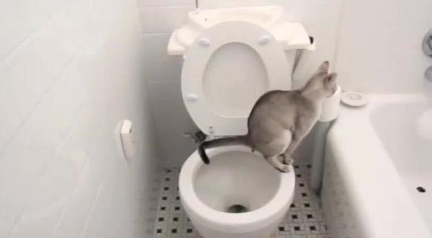别人的猫咪会自己上厕所完了还会冲水,差距