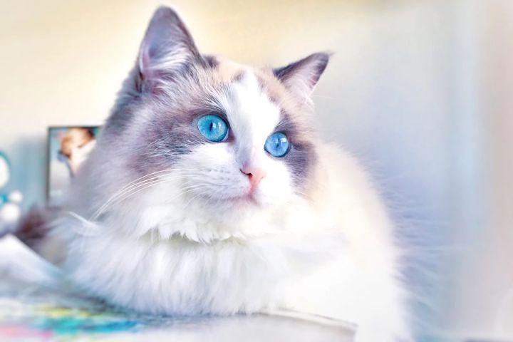 樊色(也叫龟背双色)布偶猫