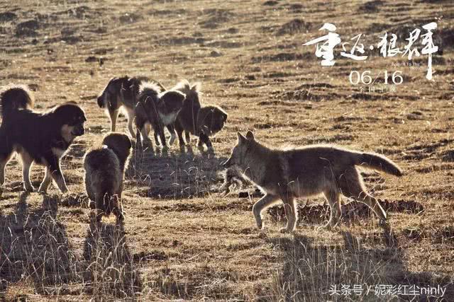 看过《重返狼群》,谁还能说人比狼高级呢?图片