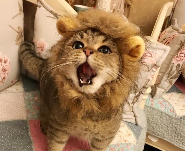 最萌小狮子:网友把自家的英短改造了一番,变身超可爱的狮子