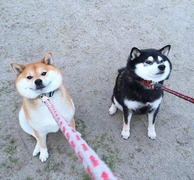柴犬,一种出了门就不会回家的狗子!每一张都活生生的成了表情包图片