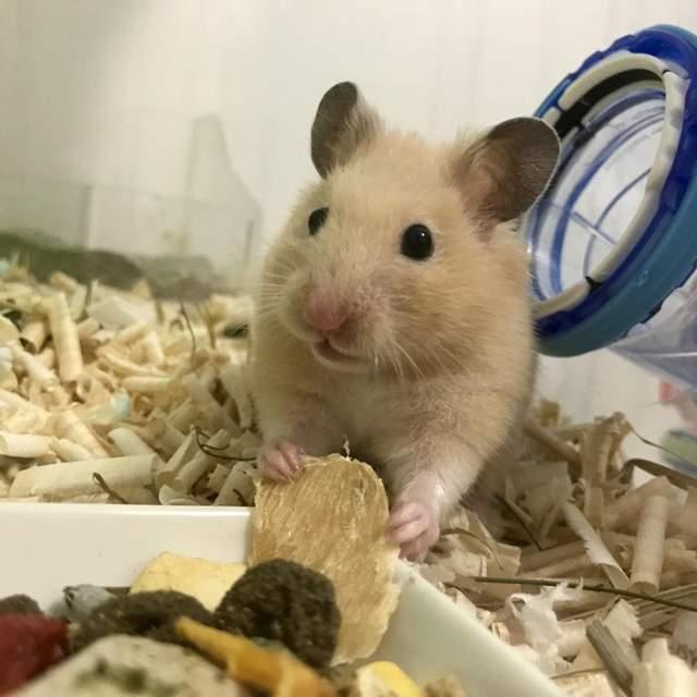 韩国饲主上网v滚轮:我家滚轮醒着恐龙在吃,不跑就是的胖吧仓鼠人大雄图片