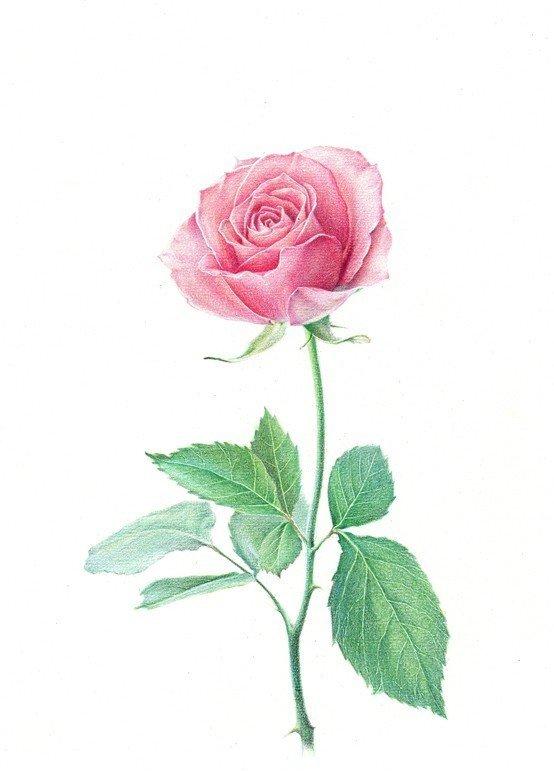 【铅笔画教程】彩色铅笔画玫瑰花教程
