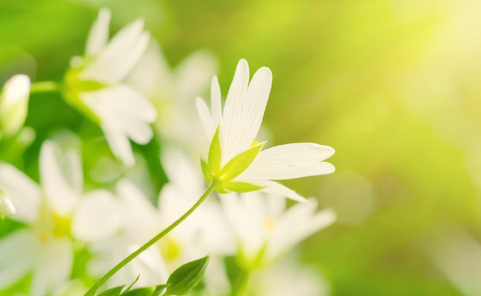 这是白温柔的花朵,看起来非常的好看(图片来自东方ic)