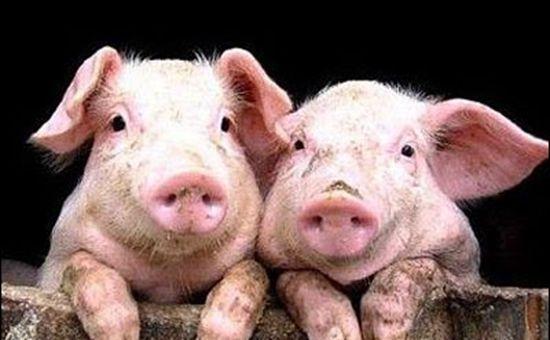 回族人不吃猪肉,很多人认为是因为处于对猪的尊重,其实恰恰相反
