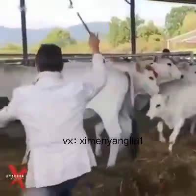 看看这个小牛,虽是畜生,但勇敢有智慧。