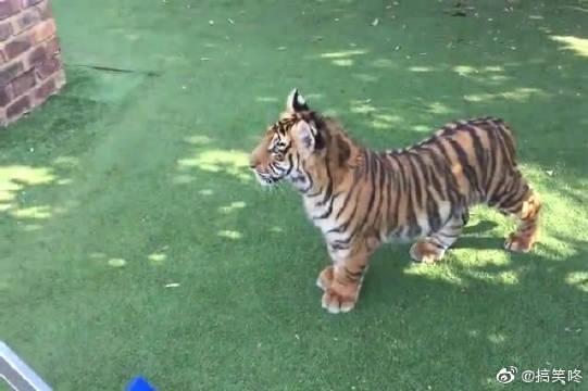主人正在干活呢,淘气的老虎还趴到他身上,真粘人