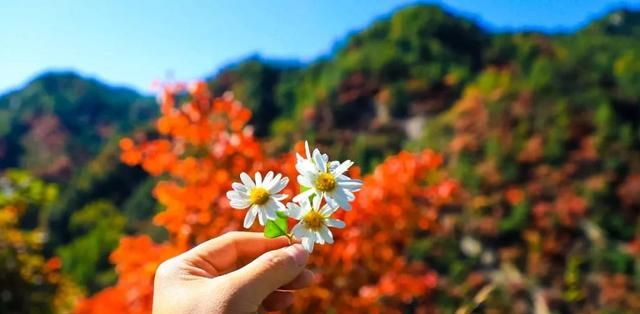 2019年度四川省最后一期红叶指数发布 还有哪些地儿适合赏红叶
