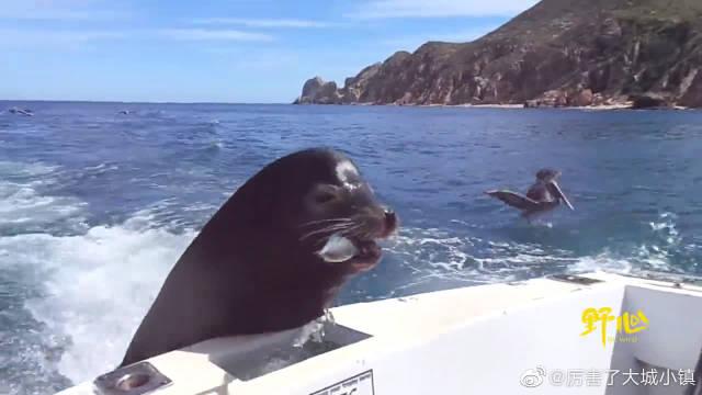 加勒比的海岸不再平静,海狮饥不择食,追着船艇要吃的