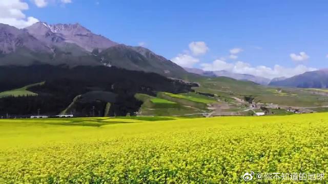 航拍青海湖,附近漫山遍野的油菜花和成群的牛羊。