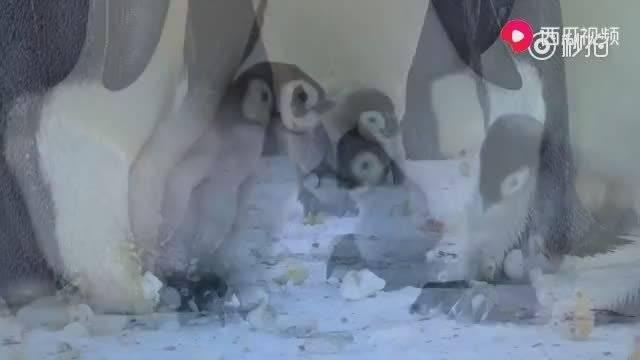 小企鹅欺负别家孩子被发现,被护崽的妈妈看到,直接怼回去