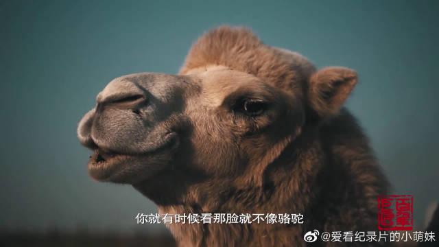 黄胄对骆驼的描绘达到炉火纯青,《洪荒风雪》更是影响深远