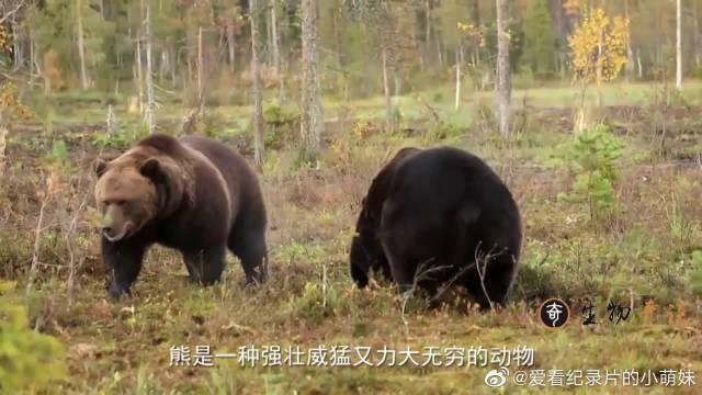 黑熊被一只胖橘吓破胆,硬是把尿给憋了回去,这熊脸还往哪搁