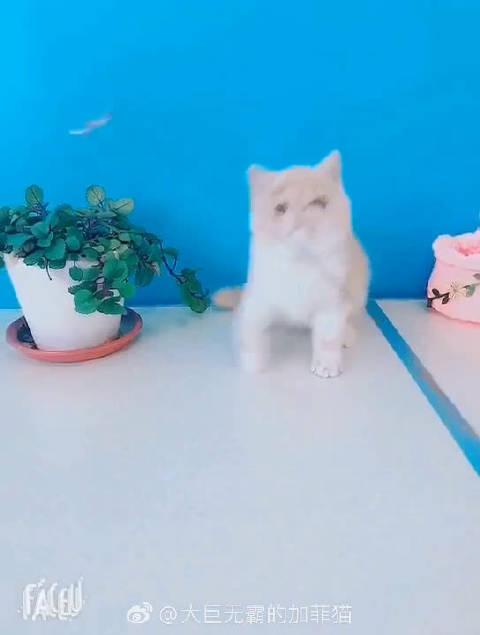 双十二特价出售中 乳白母猫 比过赛有奖花和成绩 双血统 带血统证书
