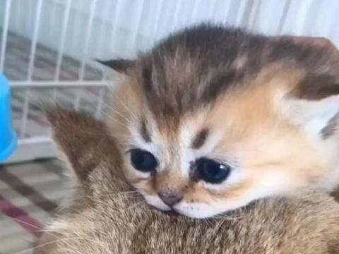 可爱奶猫趴在猫妈妈头上,呆萌可爱,让人忍不住想撸一把