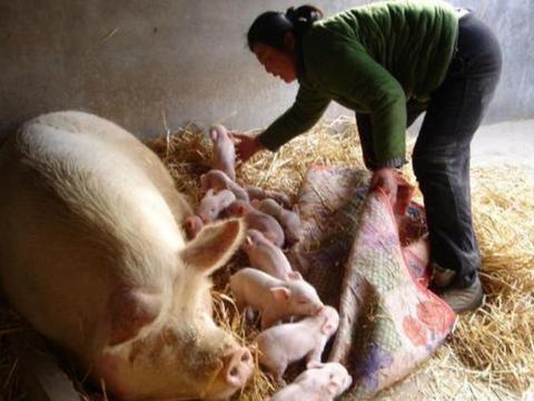 母猪产后一针,能解决母猪炎症和仔猪腹泻,养猪人知道怎么做吗?