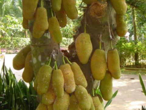 这种水果极似菠萝蜜,果肉像榴莲营养丰富,如今国内市场纯靠进口