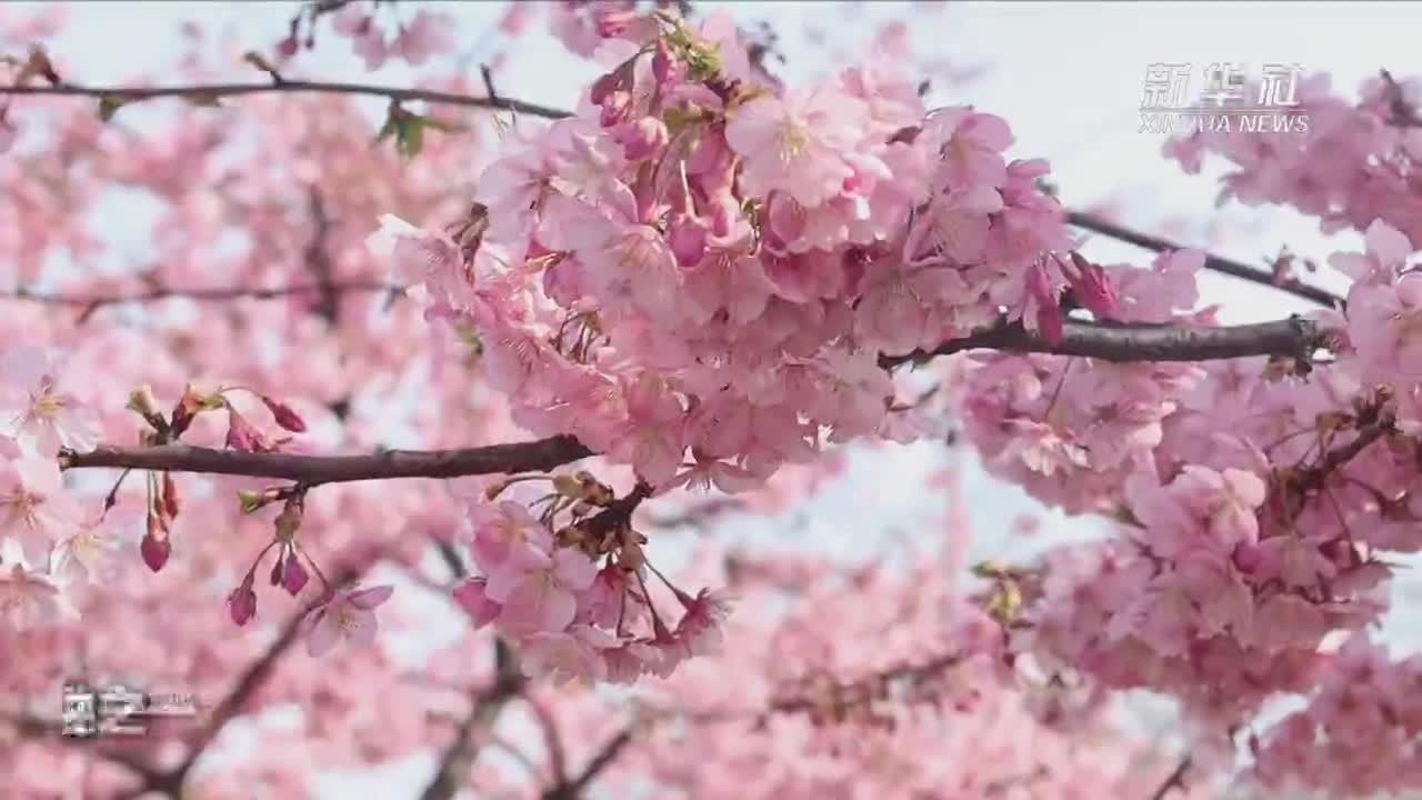 云赏花!上海辰山植物园樱花烂漫