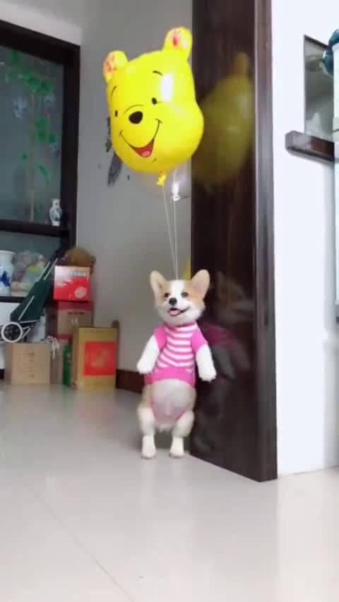 柯基乘坐氢气球,要去旅行了!汪:这是我独家的,羡慕死你