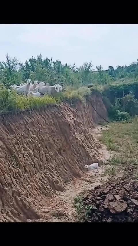 小羊不慎掉下滑坡,尝试未遂后母亲和同伴们奔向了它…… 好暖!