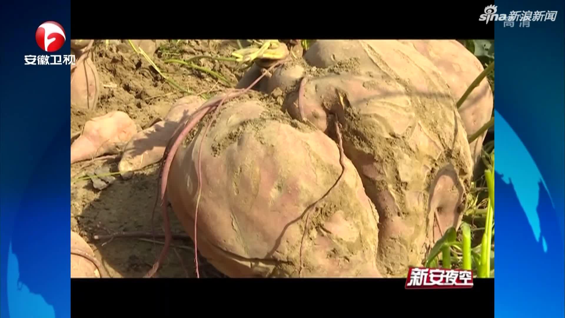 """《新安夜空》砀山:村民种出""""巨无霸""""红薯  状如心型重达50.2斤"""