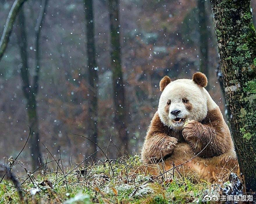 熊猫七仔是全球唯一圈养棕色大熊猫,生活于秦岭大熊猫繁育研究中心