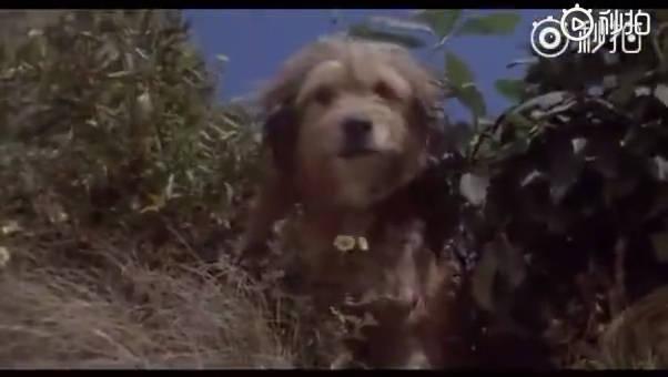 一只聪明、勇敢的小狗,从一只狼口中救下三只小老虎