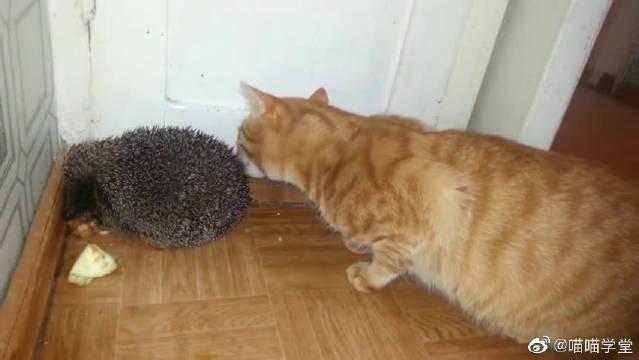 橘猫终于对刺猬下嘴了,张嘴就咬
