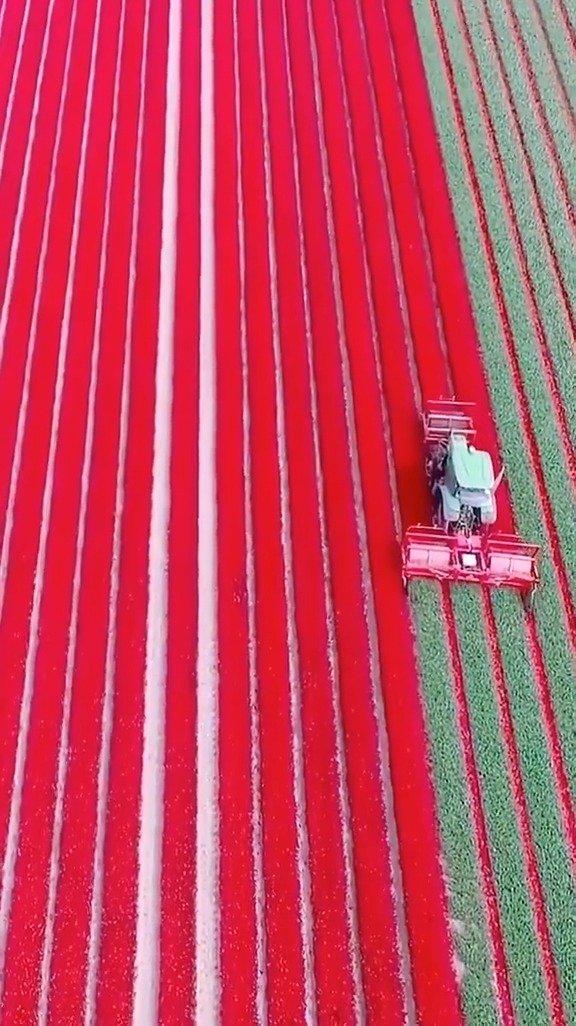 花农机械化收割荷兰郁金香,画面整整齐齐的看着好舒服!
