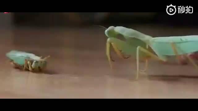 怀孕母螳螂吃掉自己的老公。本能驱动,无关爱情,无关道德