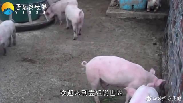 """""""土猪肉""""和""""饲料猪肉""""有什么区别?该如何区分"""