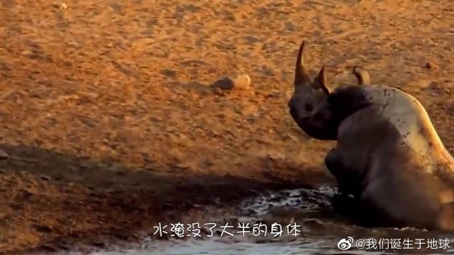 两头雄狮捕食小犀牛,犀牛妈妈暴怒了,镜头记录惊险画面