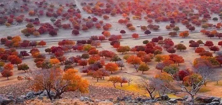 科尔沁枫叶林