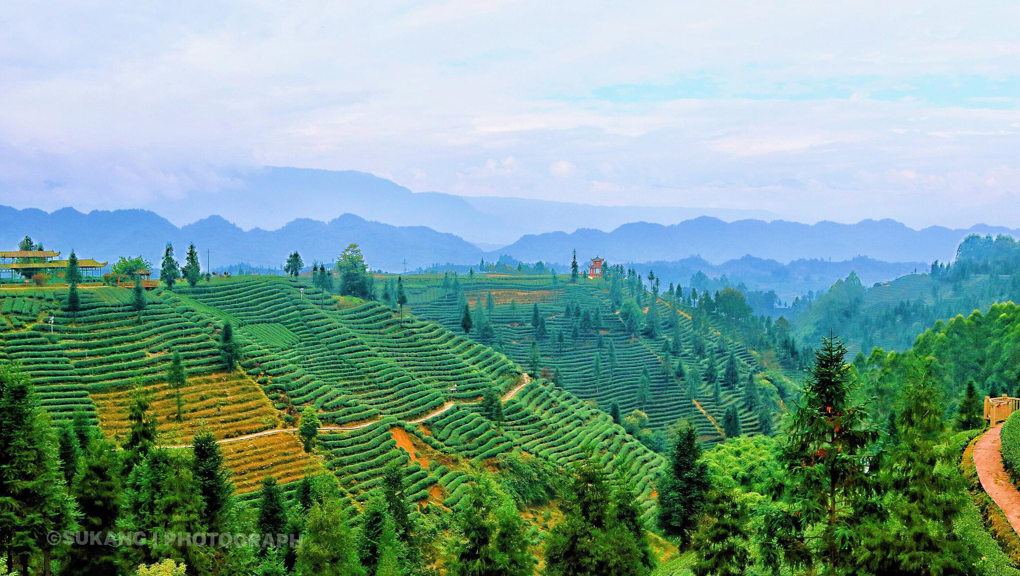 四川即将出台系列举措 推动川茶产业振兴