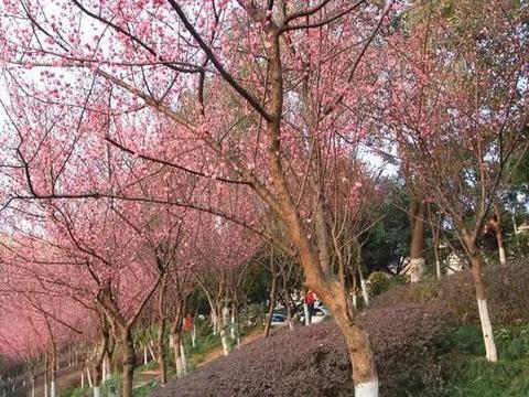 粉团锦簇,落英缤纷,广安城北人工湖大片梅花争艳