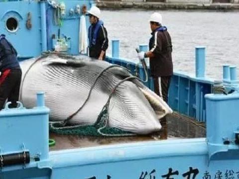 不顾其他国家阻拦,日本重启商业捕鲸!被韩国严重警告